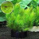 (水草)ハニカムシェルターブラック マツモ ミニ(無農薬)(1個)+ミナミヌマエビ(10匹)