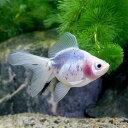 (国産金魚)かすり琉金/絣り琉金(1匹)