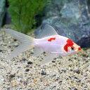 (国産金魚)コメット 中サイズ(3匹)