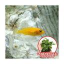 (熱帯魚 水草)オレンジゼブラ・シクリッド(4匹)+巻きたて アヌビアスナナ 付流木 SSサイズ(1個) 北海道・九州航空便要保温
