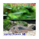 (熱帯魚)アフリカン・ランプアイ(10匹) + コリドラス・アエネウス(1匹) 北海道航空便要保温