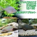 (淡水魚)タナゴセット(タイリクバタナゴ+ヤリタナゴ+アブラ...