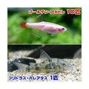 (熱帯魚)ゴールデンアカヒレ(10匹) + コリドラス・パレアタス(1匹) 北海道航空便要保温