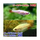 (熱帯魚)ゴールデンアカヒレ(10匹) + ゴールデンハニーレッド・ドワーフグラミー(2匹) 北海道・九州・沖縄航空便要保温