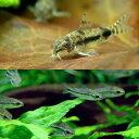 (熱帯魚)コリドラス・ハブロースス(3匹) + コリドラス・ピグミー(5匹) 北海道・九州航空便要保温