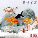 (金魚)金魚ミックス Sサイズ(3匹) 北海道・九州航空便要保温