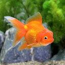 (国産金魚)オランダ獅子頭/オランダシシガシラ 素赤〜更紗 中サイズ(1匹)