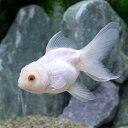(国産金魚)白オランダ獅子頭/白オランダシシガシラ(1匹)