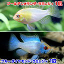 (熱帯魚)ブルーダイヤモンド・ラミレジィ(1匹)+ゴールデン...