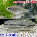 (淡水魚)ニッポンバラタナゴ(4匹) + シマドジョウ(3匹) どじょう
