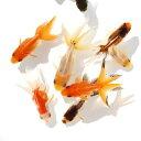 (国産金魚)オタマ金魚ミックス(10匹)