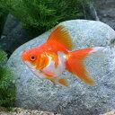 (国産金魚)更紗琉金 平賀養魚場産(1匹)