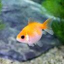 (国産金魚)ピンポンパール 埼玉県産(3匹)
