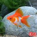 (国産金魚)更紗琉金 平賀養魚場産(3匹)