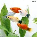 (熱帯魚)ミックスプラティ(12匹) 北海道・九州・沖縄航空便要保温