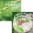 (めだか ホテイ草)ちっちゃなメダカ鉢(ガラス製金魚鉢)+ヒメダカ(3匹)+浮き草セット 北海道航空便要保温