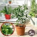 (観葉植物)果樹苗 キンカン 5〜6号(1鉢) 家庭菜園