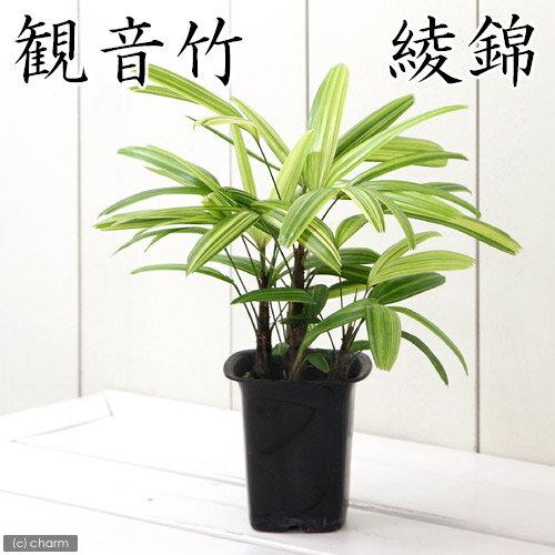 (観葉植物)ヤシ カンノンチク(観音竹) 綾錦 ...の商品画像