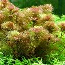 (水草)メダカ・金魚藻 レッドカボンバ(1束分)(7〜10本) 北海道航空便要保温