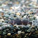 (熱帯魚)ミクロシノドンティス・バテシィ(1匹) 北海道・九州・沖縄航空便要保温