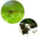 (エビ・貝)コケ対策セット 60cm水槽用 ミナミヌマエビ(10匹) + 石巻貝(10匹