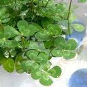 (ビオトープ/水辺植物)メダカの鉢にも入れられる水辺植物! ウォータークローバー ムチカ(1ポット分