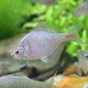 (淡水魚)タイリクバラタナゴ(2匹)...