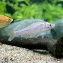 (淡水魚)イチモンジタナゴ(1匹)