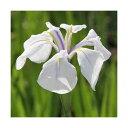 (ビオトープ)水辺植物 カキツバタ 白鷺(シラサギ)白花(1ポット)