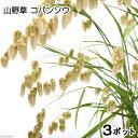 (山野草)コバンソウ(タワラムギ) 3号(お買い得3ポットセット)
