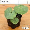 (山野草)山菜 フキ(蕗) 4号(1ポット) 家庭菜園