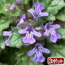 (山野草)キランソウ(紫藍草) 3号(お買い得3ポットセット)【HLS_DU】