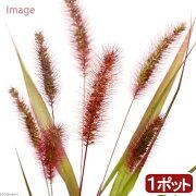 (山野草)ムラサキエノコロ(紫狗尾) 3号(1ポット)