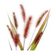 (観葉植物)ペットリーフ ムラサキエノコロの苗(紫狗尾) 3号(1ポット)