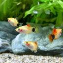 (熱帯魚)イエローミッキーマウスプラティ(4匹) 北海道・九...