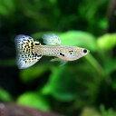 (熱帯魚)キングコブラ・グッピー(国産グッピー)(1ペア) 北海道・九州・沖縄航空便要保温