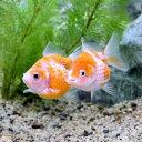 (金魚)ピンポンパール(1匹)