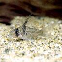 (熱帯魚)コリドラス・旧アルマータス(ワイルド)(1匹) 北...