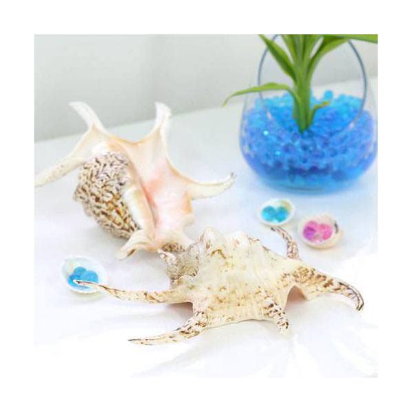 (海水魚 貝殻)シェルコレクション スイジガイ Mサイズ(1個)(形状おまかせ)