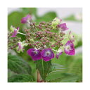 (山野草)盆栽 ヤマアジサイ(山紫陽花) 品種おまかせ 2.5~3号(1ポット) (休眠株)