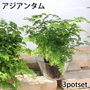 (観葉)シダ アジアンタム 3号(お買い得3ポットセット)