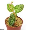 (観葉植物)ジュエルオーキッド マコデス ぺトラ 2号(1鉢)(Macodes petola)
