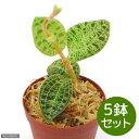 (観葉植物)ジュエルオーキッド マコデス ぺトラ 2号(5鉢)(Macodes petola) 沖縄別途送料