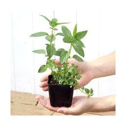 (観葉)ハーブ苗 ミント(品種おまかせ) 3号(お買い得3ポットセット) 家庭菜園