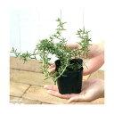 (観葉植物)ハーブ苗 ローズマリー 這性 3号( 3ポットセット) 家庭菜園