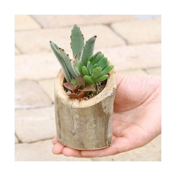 (観葉植物)私のオアシス 多肉寄せ植え 流木ポット Medium(1個)
