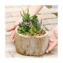 (観葉植物)私のオアシス 多肉寄せ植え 流木ポット Big Special(1個)