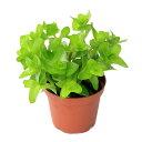 (水草)ウォーターバコパ(水上葉) 鉢植え(無農薬)(1ポット分) 北海道航空便要保温