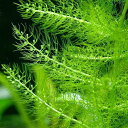 (水草)メダカ・金魚藻 ウトリクラリア アウレア(ノタヌキモ)(無農薬)(5本)