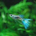 (熱帯魚)ブルーグラススワロー・グッピー(国産グッピー)(1トリオ) 北海道・九州・沖縄航空便要保温